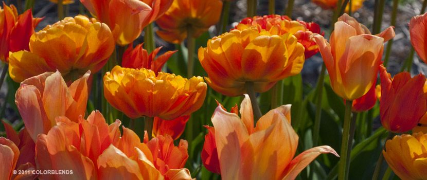 Tulip threedom early spring blooming bulbs for sale tulip threedom early spring blooming bulbs for sale colorblends mightylinksfo