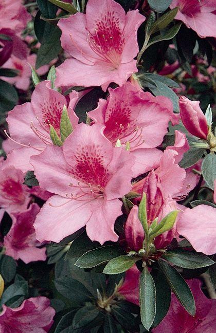Formosa Azalea Monrovia Formosa Azalea Azalea Flower Azaleas Plants