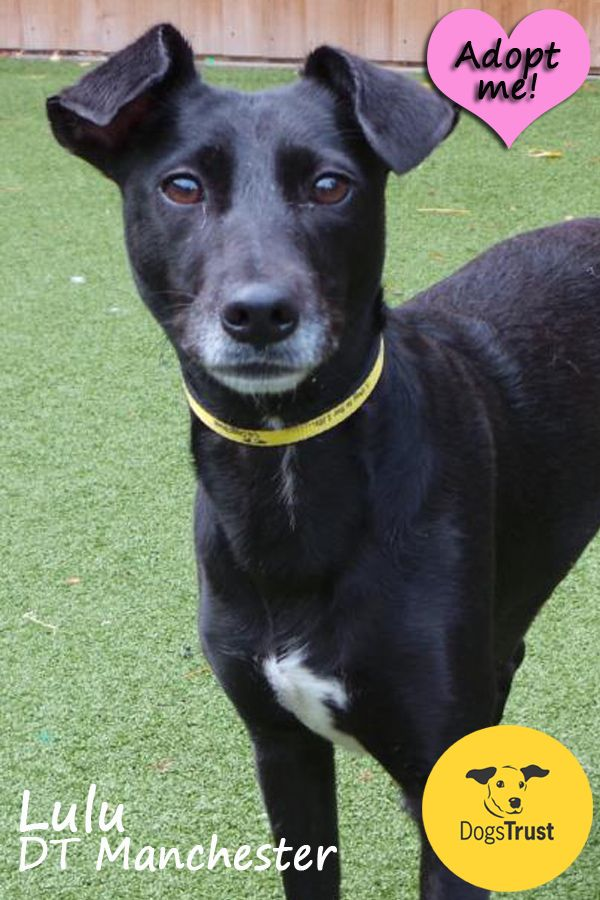 Lulu At Dogs Trust Manchester Is A Sweet Natured Girl Who Enjoys Playing Eating And Pottering Around In That Order She Really Dogs Trust Dogs Dog Adoption