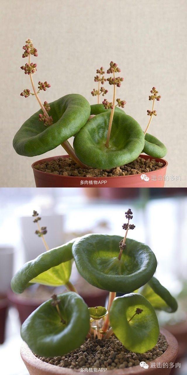 Photo of Mini Raining Umbrella Succulents – 100 Seeds