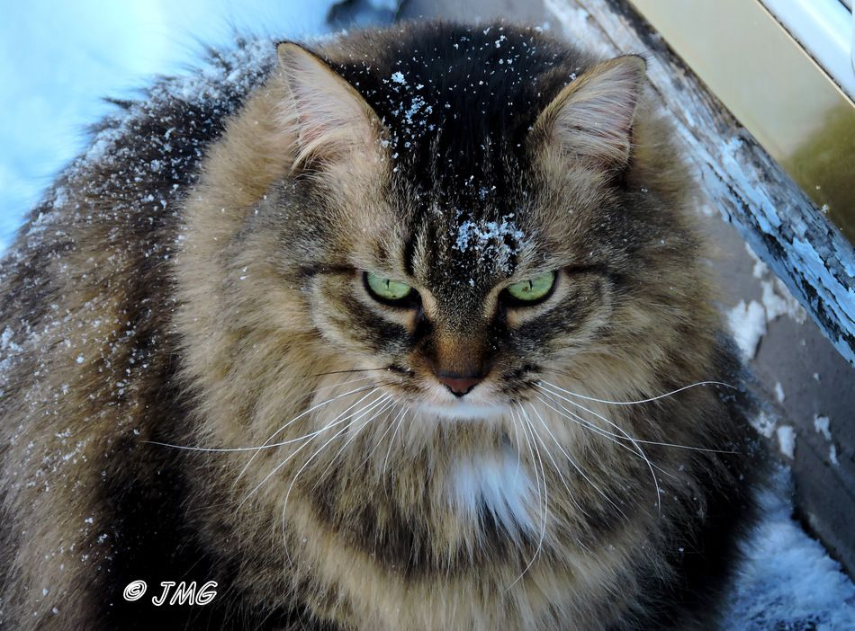 Snowy Kitty (snow winter pets ). longhaired brown tabby