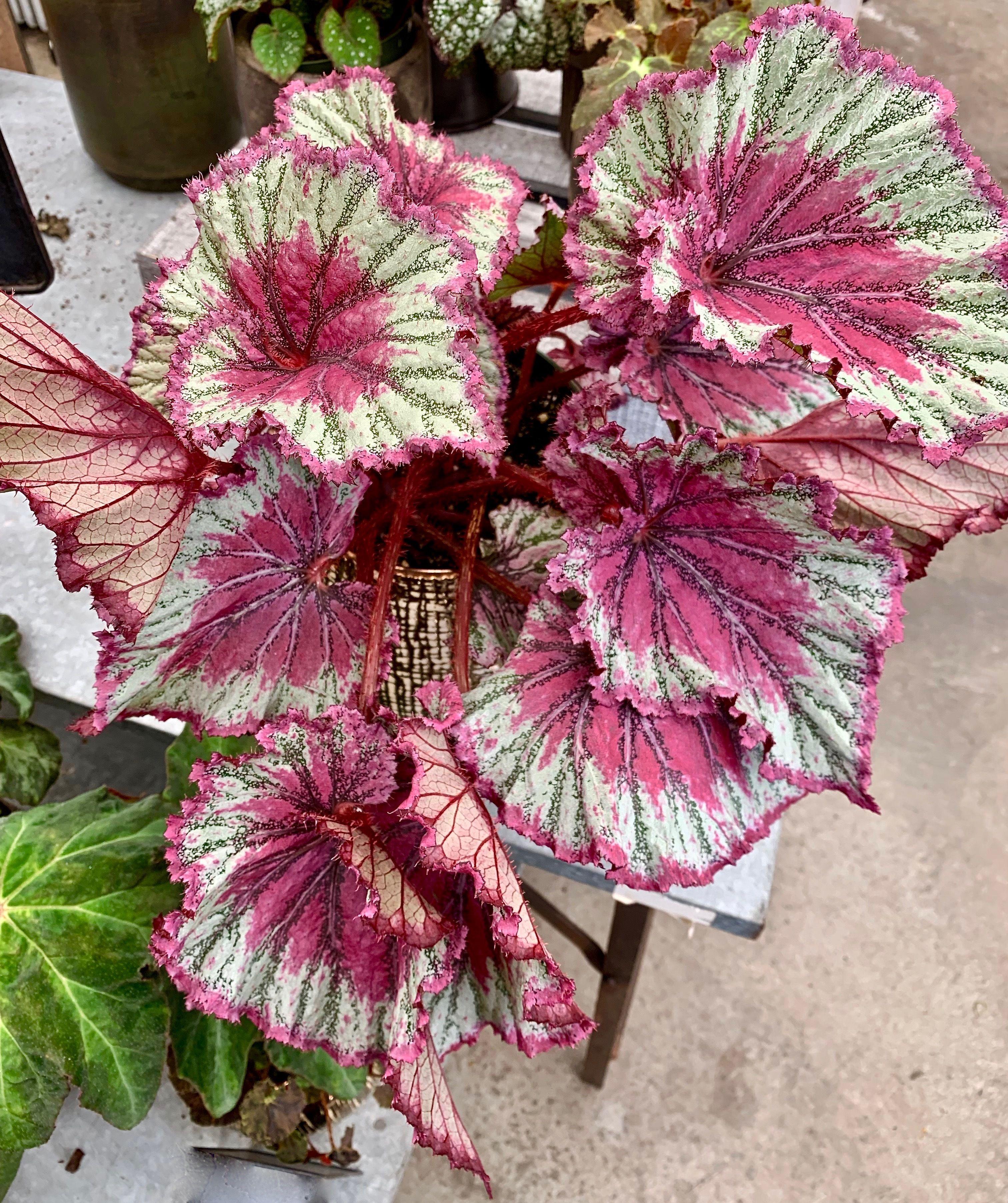Not So Speechless Sunday Rex Begonia With Images Begonia