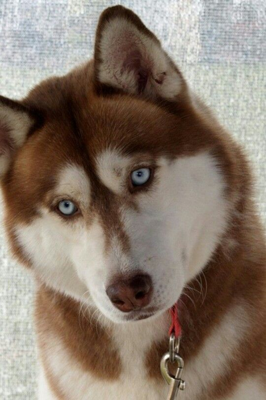 Pin By Cami The Crafting Nook On Me Cute Animals Red Husky