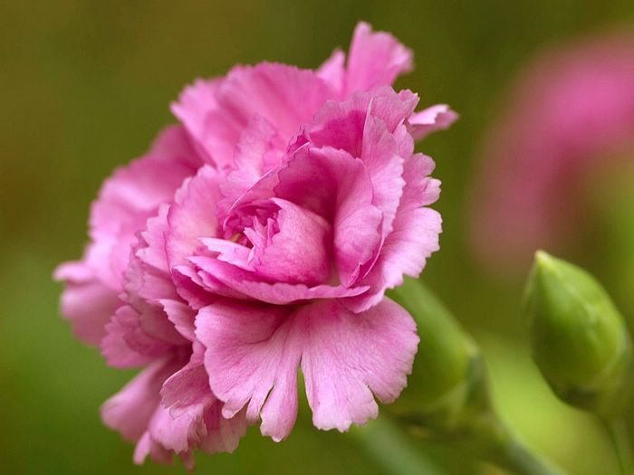 The Secret History Of The Pink Carnation Carnation Flower Pictures Carnation Flower Flowers