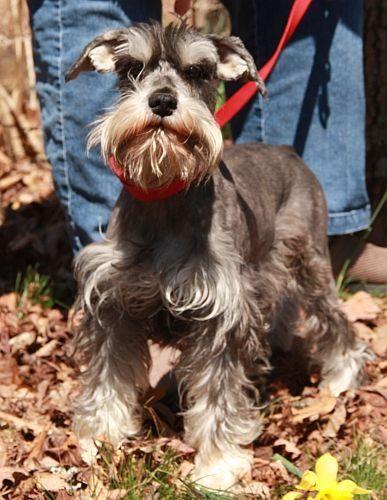 I Found Kaylee On Petfinder Schnauzer Schnauzer Dogs Pets