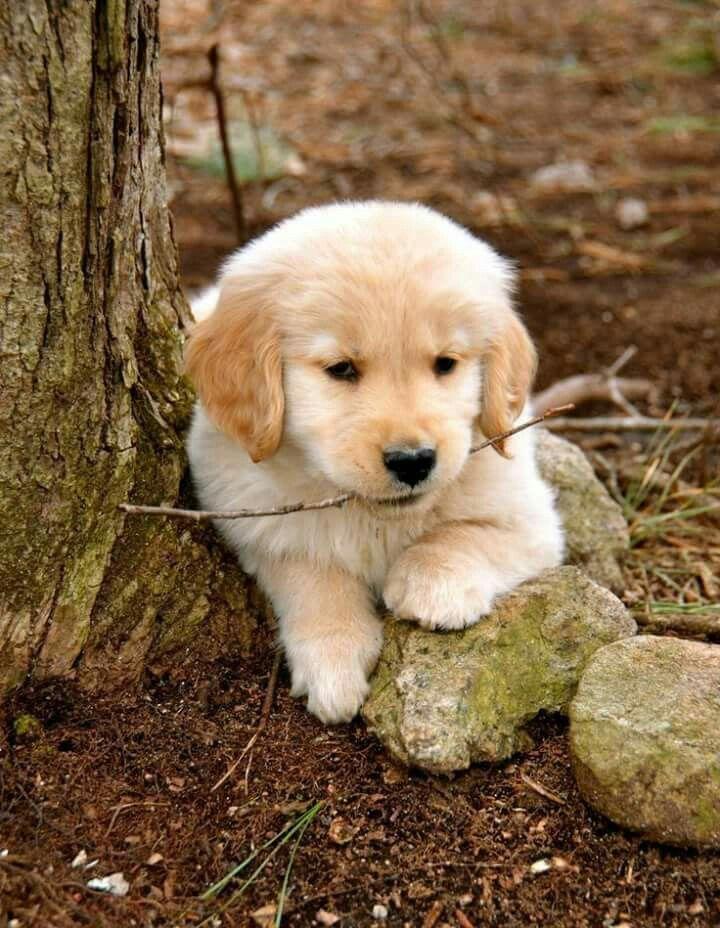 Pin By Ellie Pennock On Animals Retriever Puppy Golden