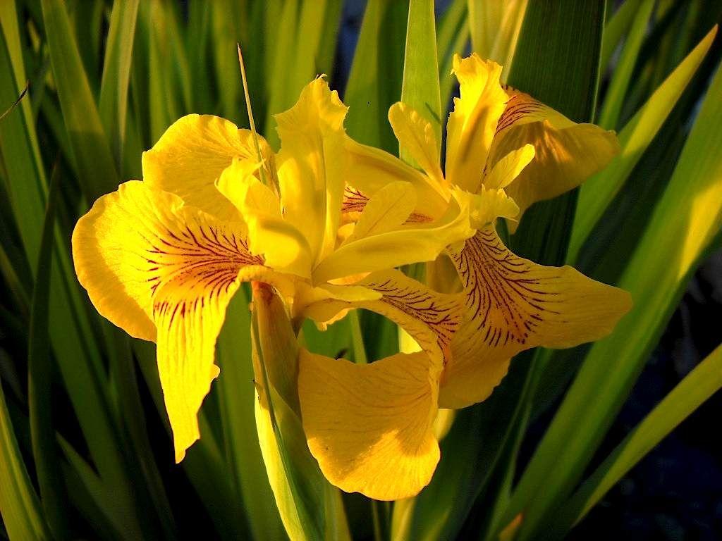 Iris Psuedacorus Yellow Aquatic Iris Small Water Gardens Aquatic Plants Water Garden