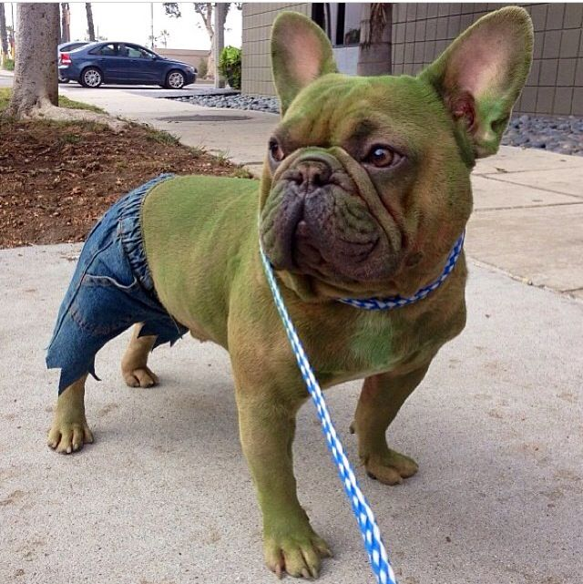 It Ain T Easy Being Green With Images French Bulldog