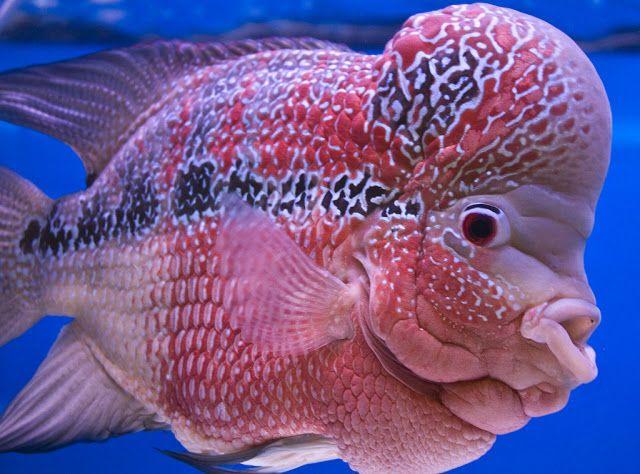 Flowerhorn The Hybrid Cichlids Flower Horn Fish Fish Sea Creatures Ocean Creatures