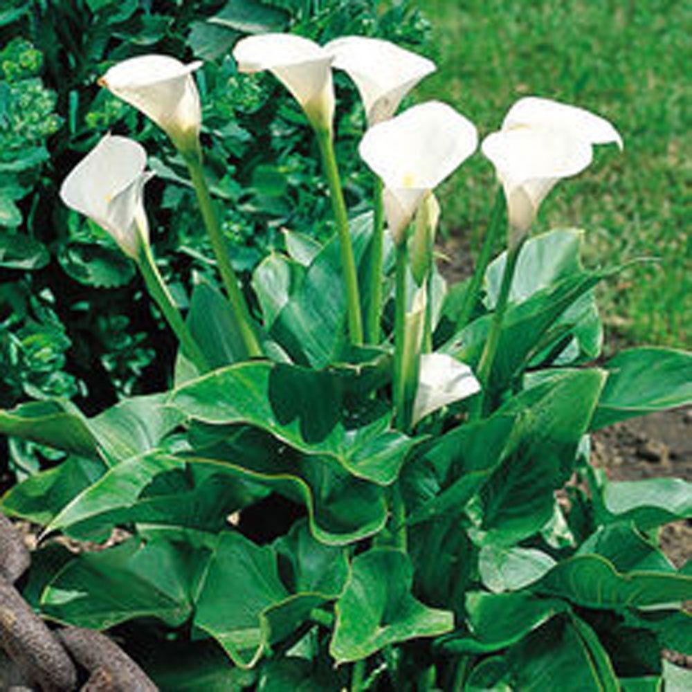 Zantedeschia Aethiopica Arum Lily Bulbs Tubers White Summer