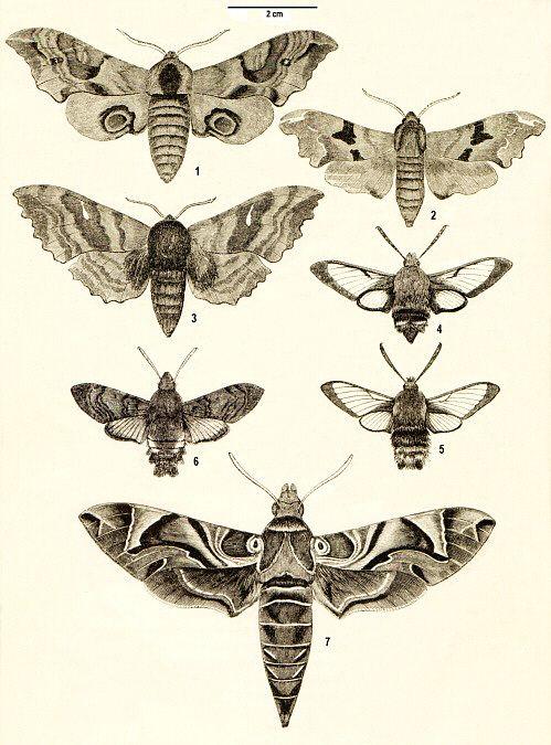 Macroglossum Stellatarum Moth Illustration Insektenkunst Tierillustrationen Motte Zeichnung