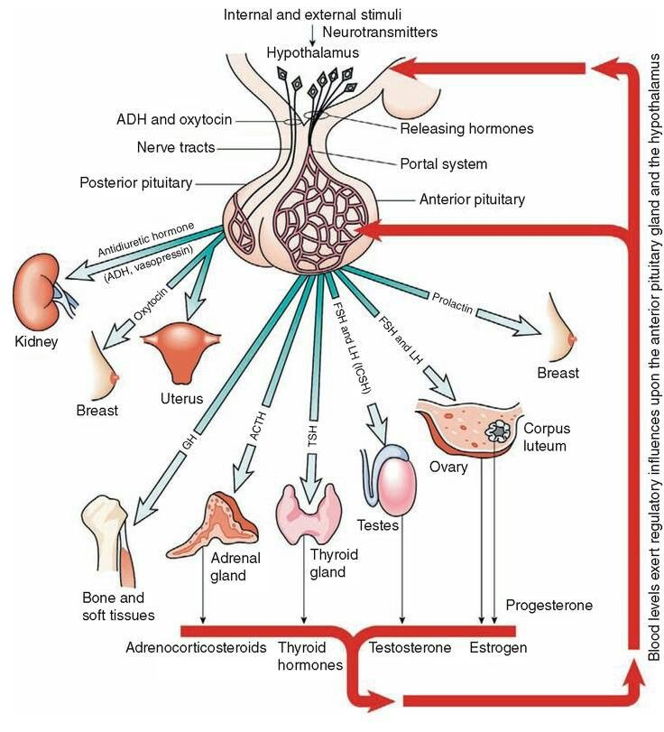 hypothalamus and pituitary glands relationship test