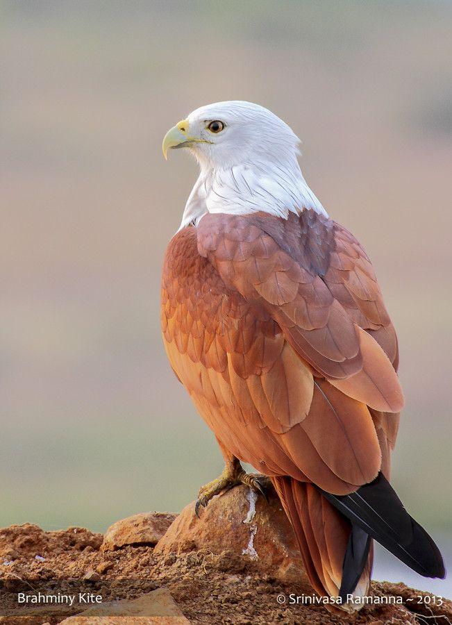Brahminy Kite By Srinivasa Ramanna 500px Wildlife Photography Birds Bird Photography Beautiful Birds