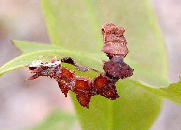 Gumleaf Bizarre Looper Caterpillar Raupe Schmetterling