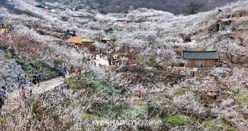 매향(梅香) 나니 봄이로구나, 매화 보러 가는 길 | ZOOA-KR