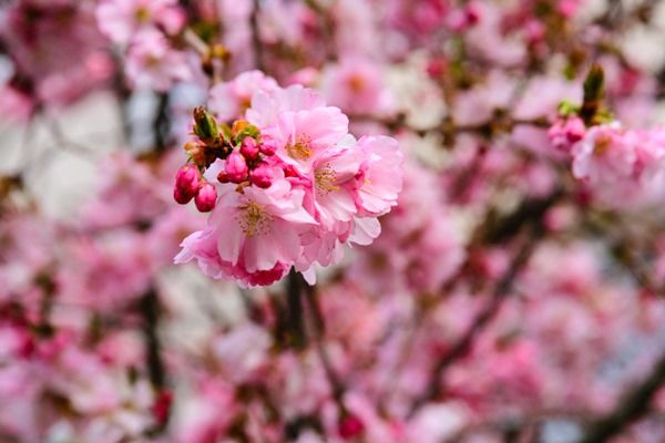 Sakura Tea Tasting Cherry Blossoms Sakura Cherry Blossom Cherry Blossom Edible Flowers