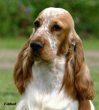 Pin By Alisa Quint Interior Design On English Cocker Spaniel Cocker Spaniel Spaniel Field Spaniel