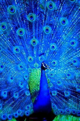 Pin by Juicy (Couture of Course) on Decor - Peacocks ...