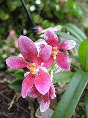 Sarcochilus Yvette (cskk) Tags: pink white orchid yellow australian australia orchidaceae yvette hybrid epiphyte sarcochilus taxonomy:kingdom=plantae taxonomy:family=orchidaceae geo:country=australia taxonomy:genus=sarcochilus