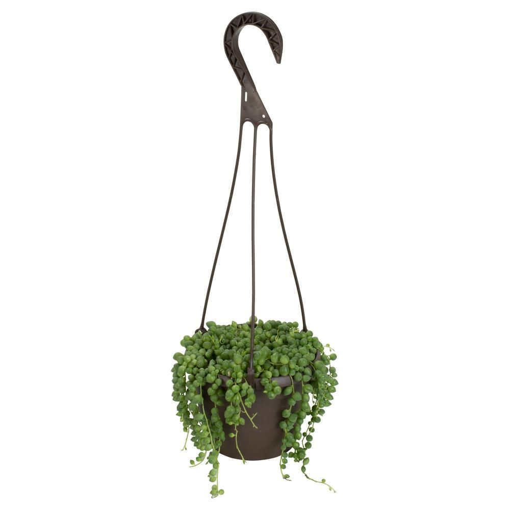 Altman plants in assorted string of pearls hanging basket plant