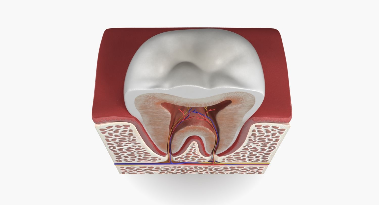 3d model #tooth #teeth #anatomy #human #dental #section #model #root ...