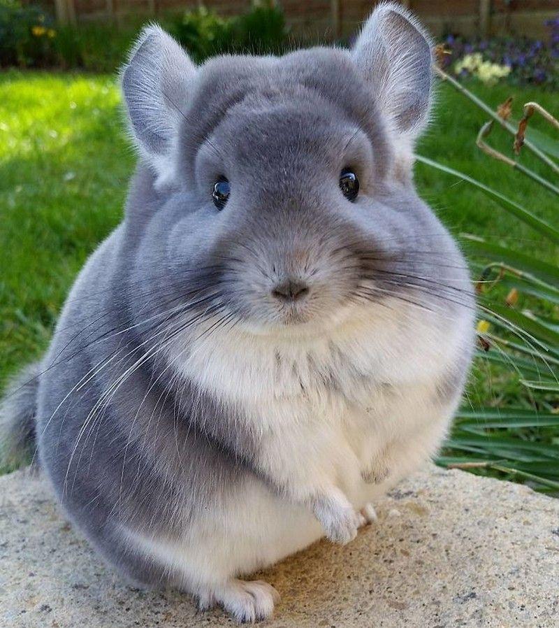 The Case Of The Perfectly Round Chinchilla Cute Animals Animals Beautiful Chinchilla Pet