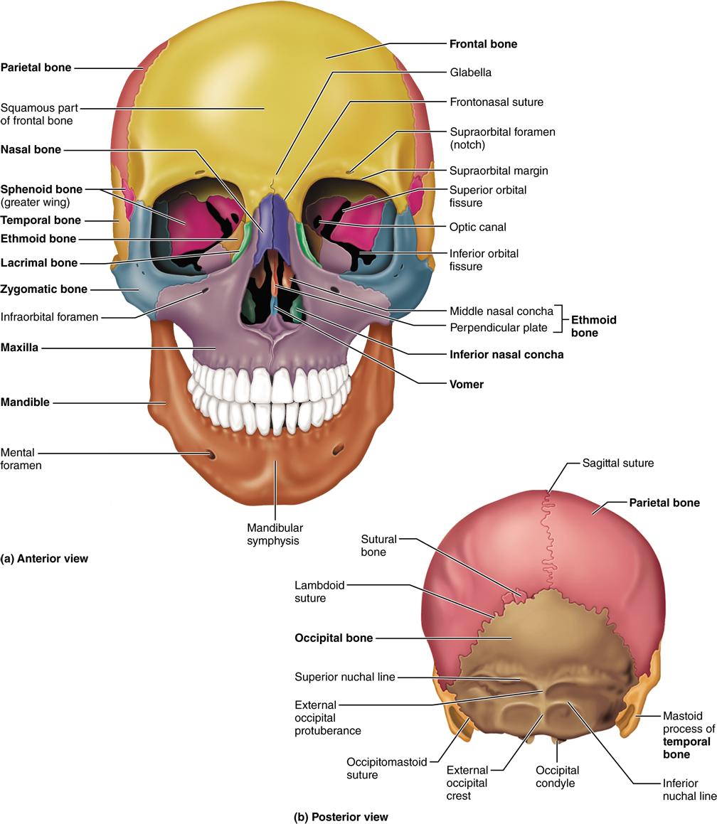 axial skeleton skull diagram vw sharan towbar wiring part 1 the 7 consists of 8 cranial bones and 14 facial human anatomy physiology