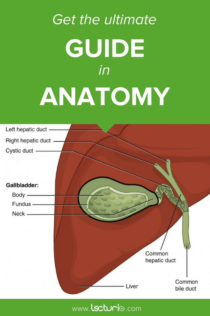 Gall Bladder and Bile Ducts – Structure and Function | Bile duct and ...
