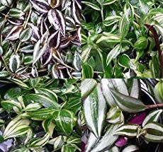 Wandering Jew Plant: Tradescantia Types Care And Growing Advice #wanderingjewplant