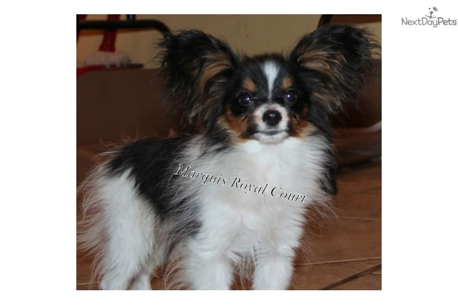Papillon Puppy For Sale Near Hattiesburg Mississippi 7feac68e