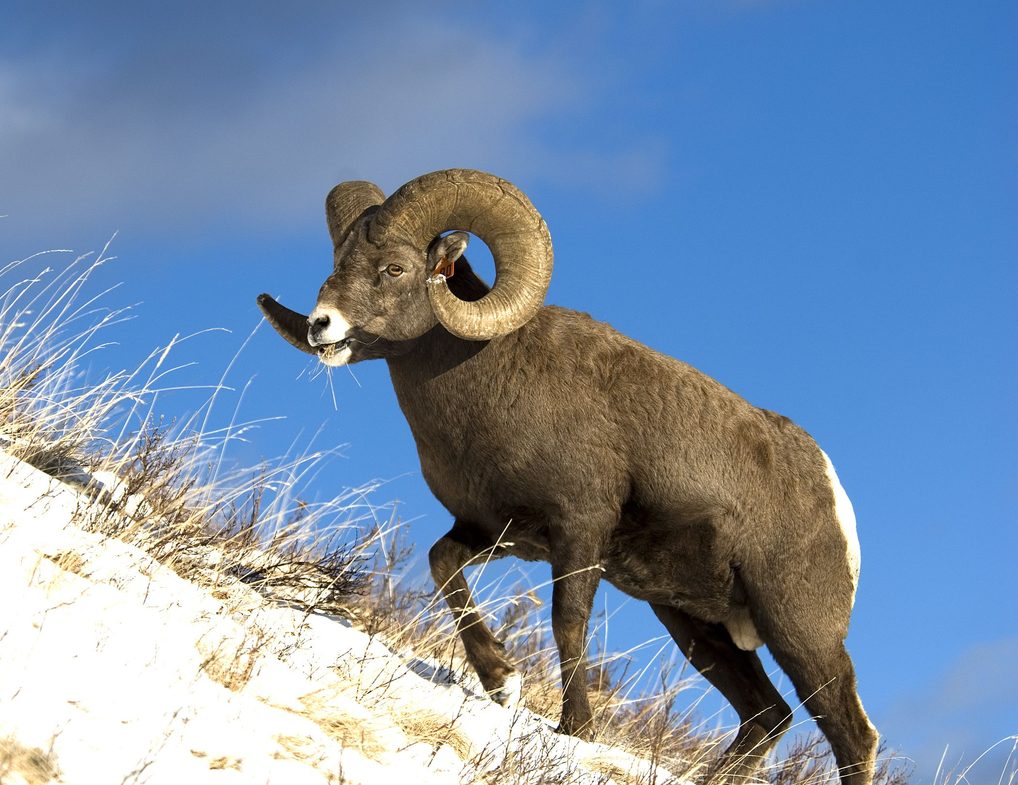 The Bighorn Ram Canadian animals, Goat picture, Mule deer