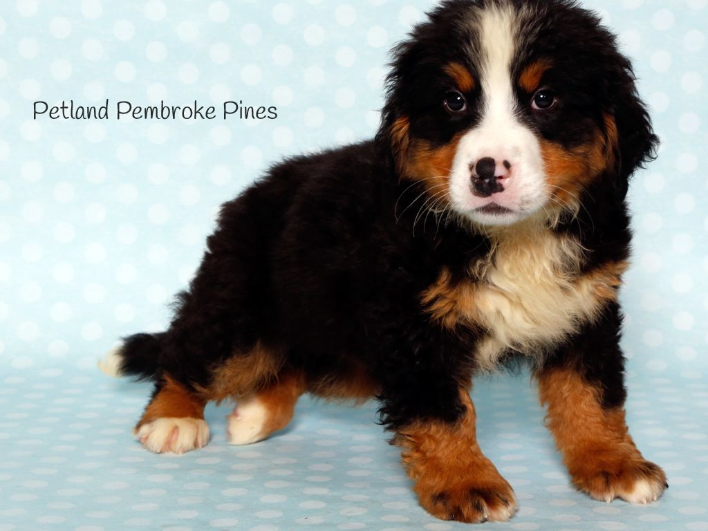 The Journey Of Life Is Sweeter With A Bernese Mountain Dog Nothing Like Having A Paw When You Need Dog Breeds Bernese Mountain Dog Puppy Bernese Mountain Dog