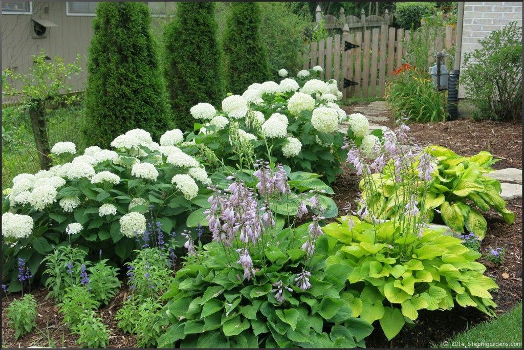 Annabelle Hydrangea With Hosta Garden Pinterest Garden