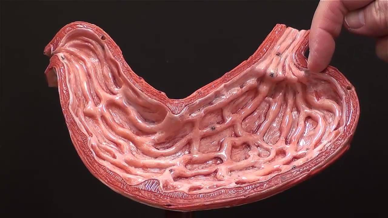 Gross Anatomy Of The Human Stomach Youtube Organic Matter In