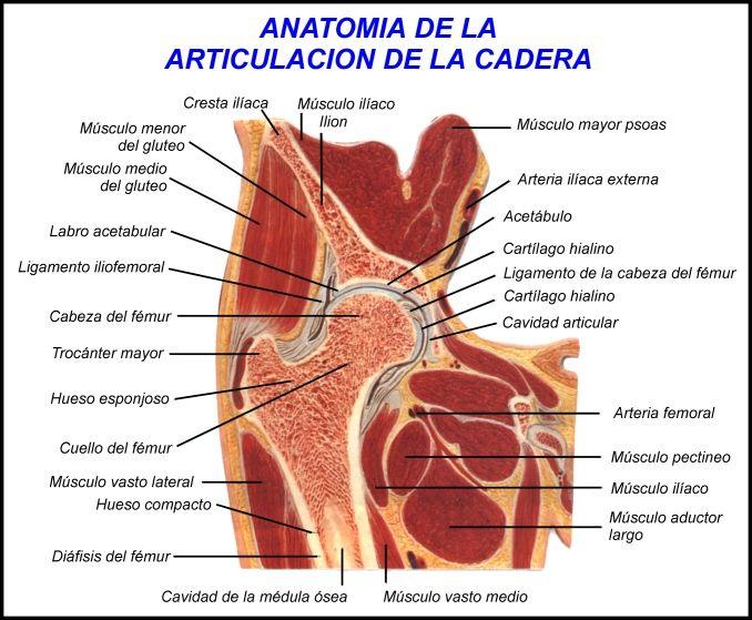 Fantástico Músculos Anatomía Articulación De La Cadera Imagen ...