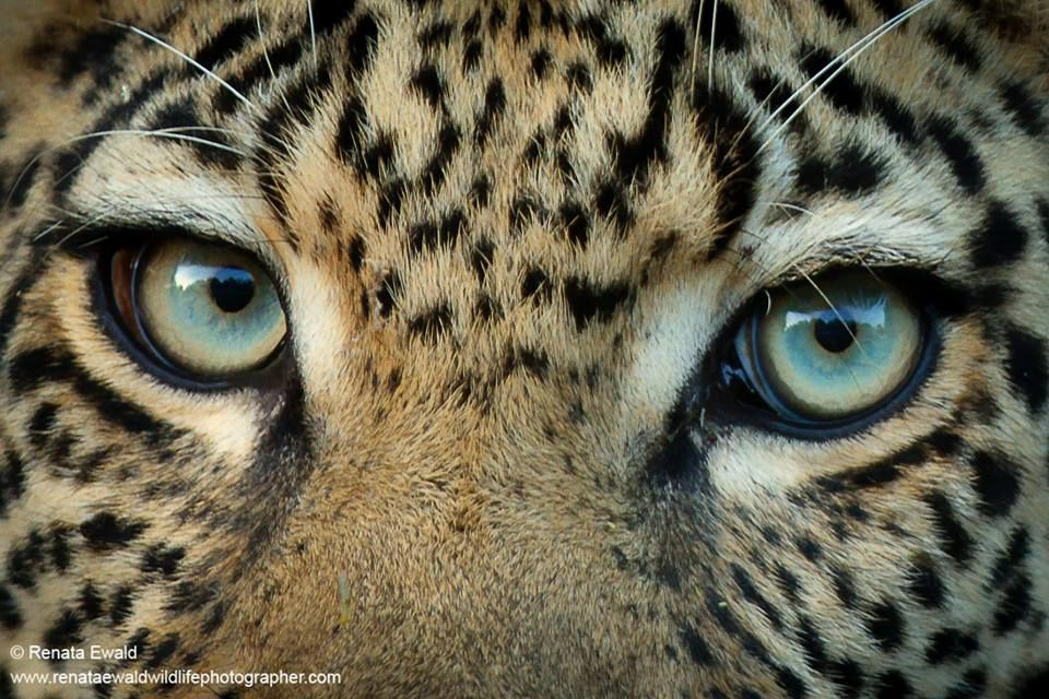Eye To Eye With A Leopard In Kruger National Park South Africa By