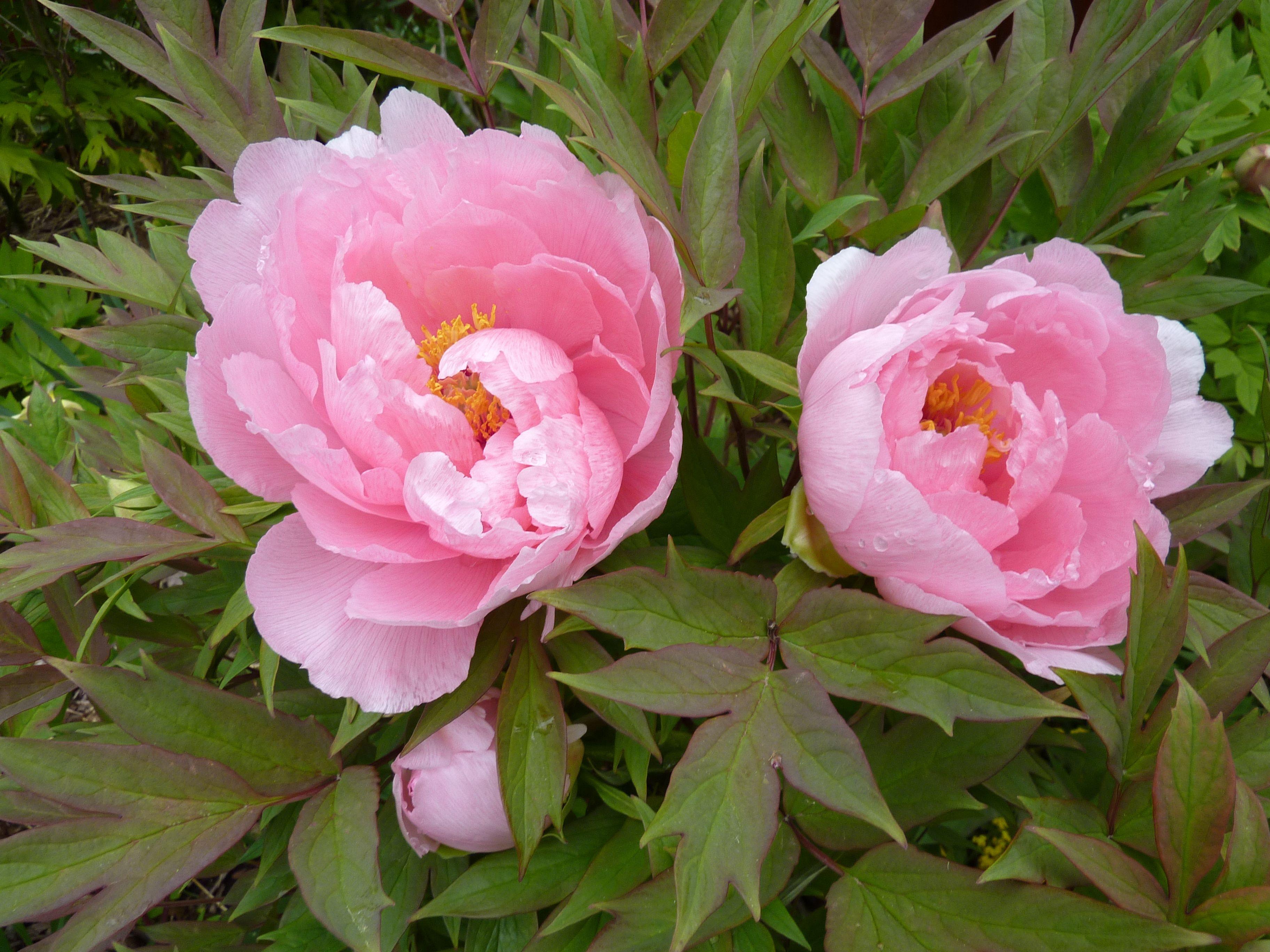 Paeonia Suffruticosa Hanakisoi Flowers Paeonia Lactiflora Plants