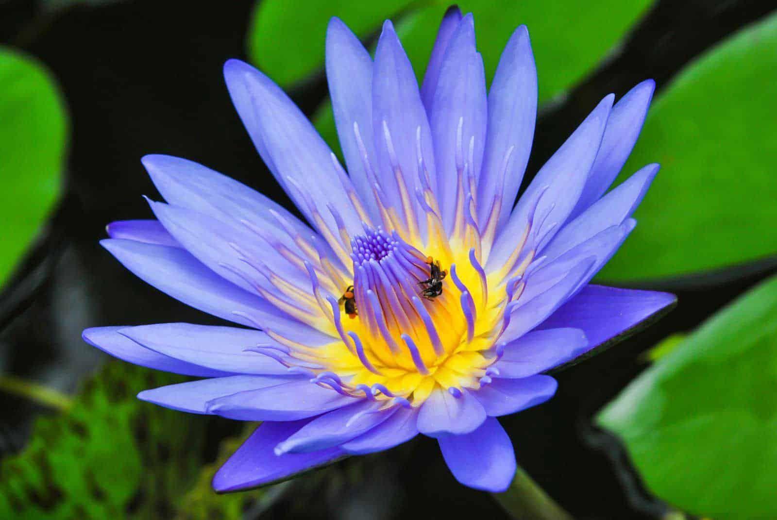 Blue Lotus Floral Absolute Oil Blue Lotus Zen Meditation Herbs