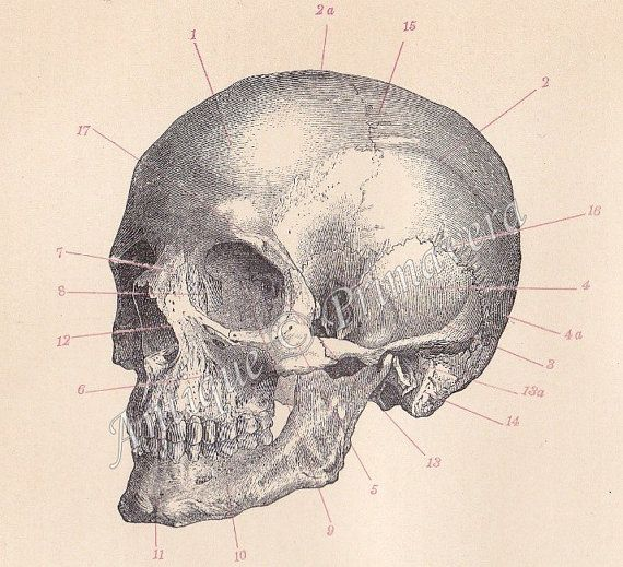 1898 Human Skull - Side View and from Beneath Antique German Engraving