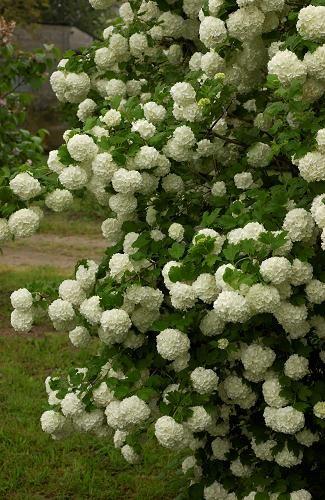 Arbuste Boule De Neige : arbuste, boule, neige, Épinglé, Plants, Flowers
