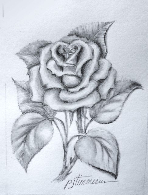 Pencil drawing the rose