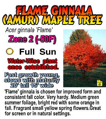 Valley Nursery Inc Acer Maple Amur Maple Valley Nursery Maple Tree