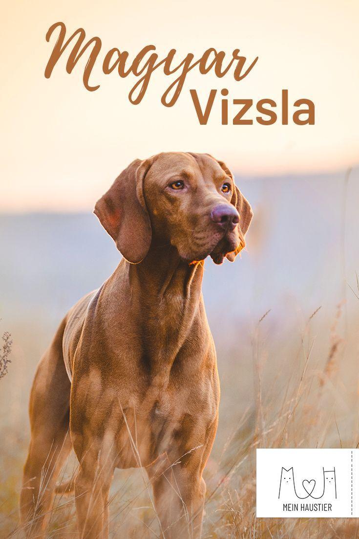 Magyar Vizsla Steckbrief Charakter Pflege Haltung In 2020 Vizsla Hund Vizsla Jagdhund