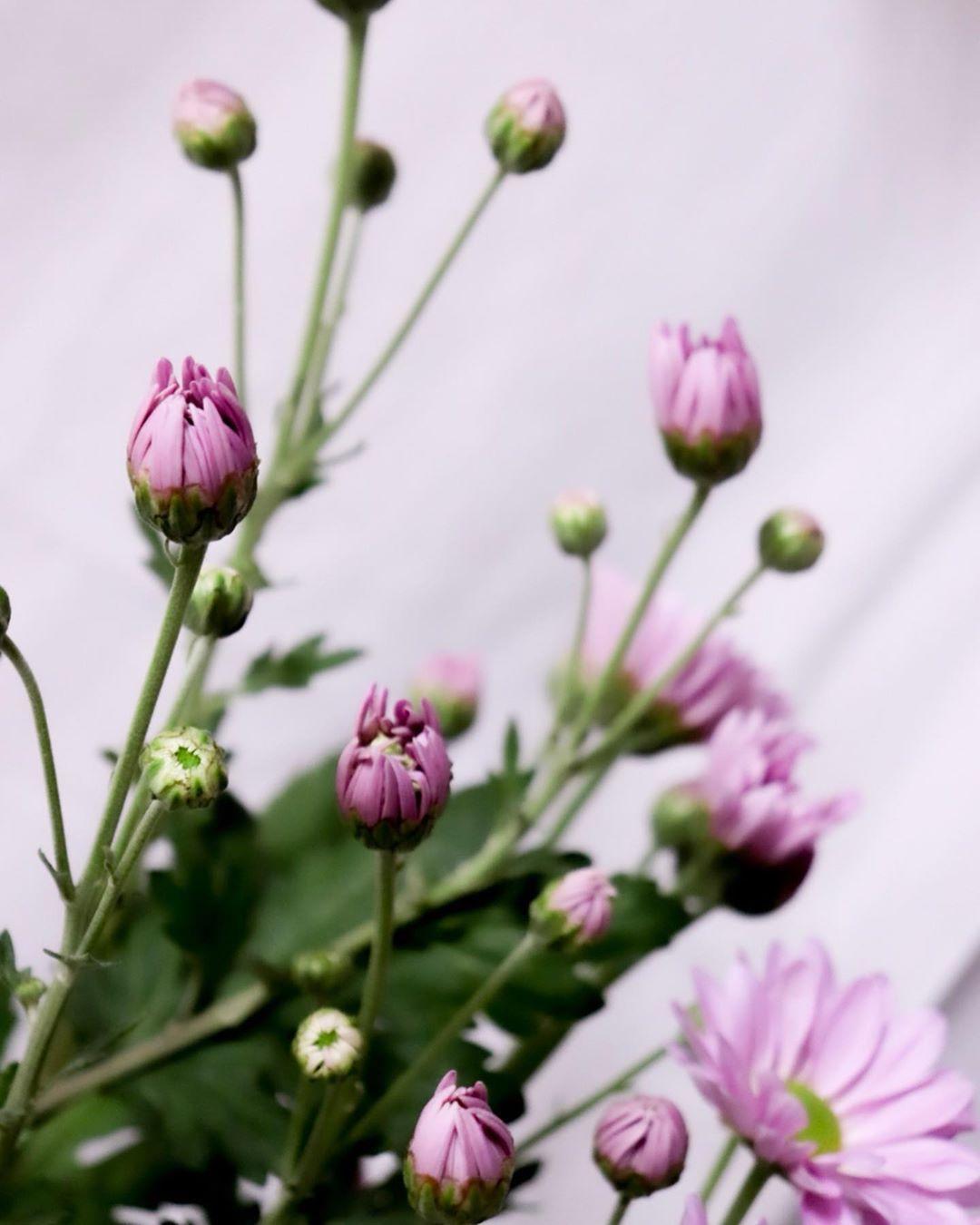 ・ ・ 今までは見向きもしなかった 市役所にこの時期展示してる 菊の花たち ・ いろんな種類があるんだ😳 お墓参りの花、 くらいにしか思ってなかったけど ・ キレイなので しばらくpostは 菊しばりだよ😂 ・ canon EOS kiss X9i ・ ・ #カメラ日本の輪 #北海道ミライノート #東京カメラ部 #Hokkaidolikers #Hokkaidolabo #hokkaido_life #my_eos_photo #daily_photo_japan #lovers_nippon #photo_jpn #japan_daytime_view #team_jp #japan_photo_now #japan_bestpic #explorejapan #jalan_travel #pooloftime #haveanicephoto #flowerstagram  #flowerphotography  #flowerpic  #flower_beauties_  #flowers_shotz  #chrythesanmum
