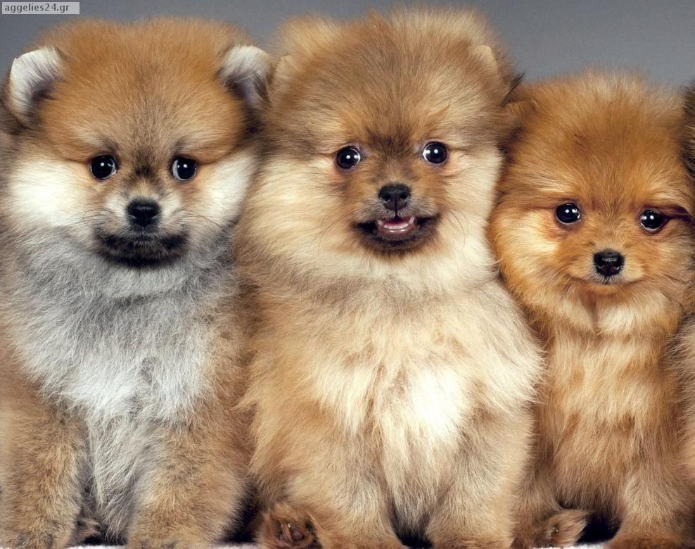 Spits Kafe Koytabia Spitz Brown Puppies Friends Puppies