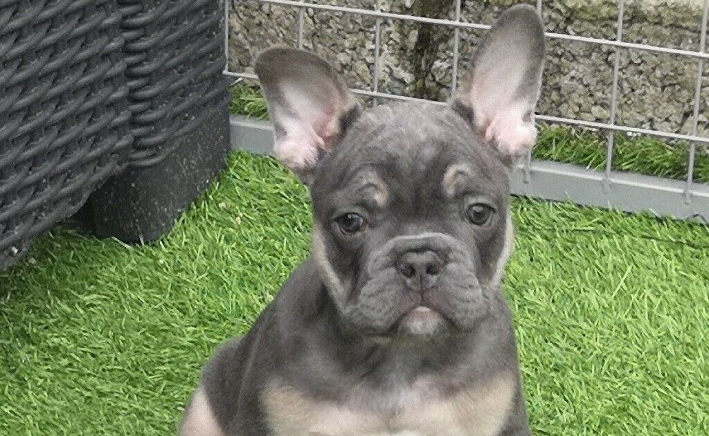 Stunning French Bulldog Puppies For Sale Blue And Tan Top Quality Lines In Falkirk Gumtree Sweet Fawn Bulldog Puppies For Sale Bulldog Puppies French Bulldog