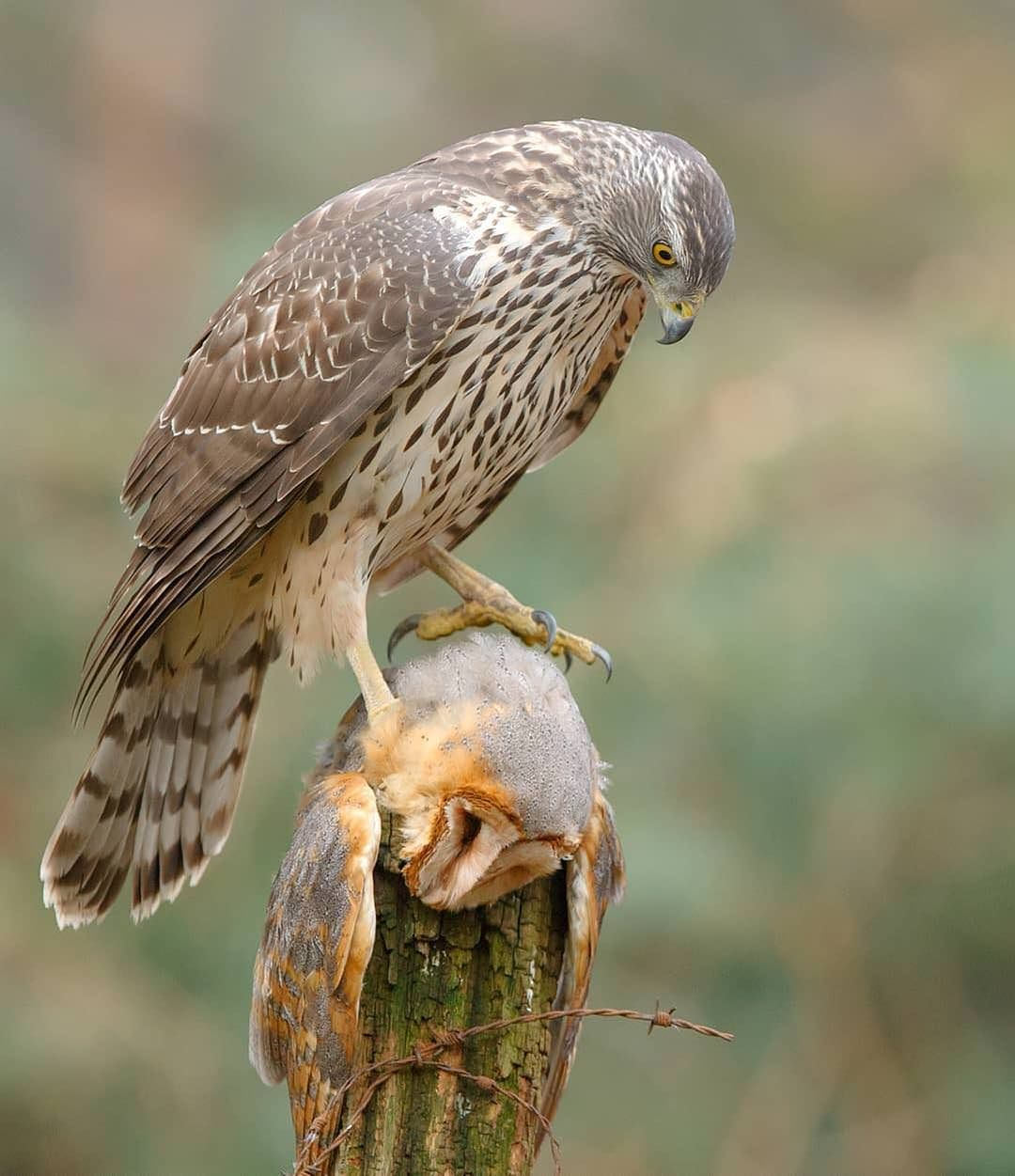 Goshawk having barn owl for a meal #nature #Photography # ...