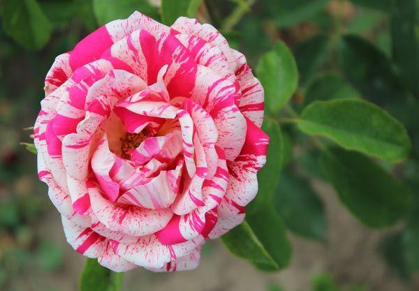 8 variedades de rosas asombrosas e inusuales