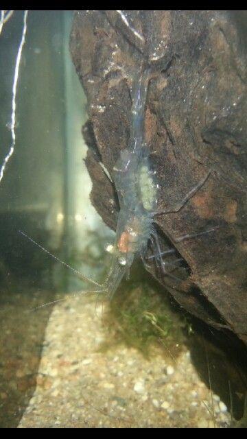 Pregnant Ghost Shrimp Ghost Shrimp Ghost Aquarium