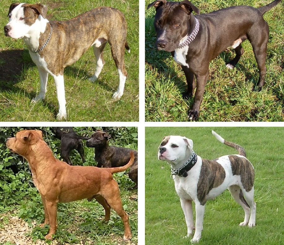 Pin On Bully For Bully Breeds